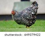 adult wyandotte hen seen... | Shutterstock . vector #649379422
