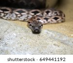 Small photo of Dumeril's Ground Boa, Acrantophis dumerili, is one of Madagascar's greatest snakes