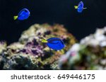 Blue Hippo Tang Fish With Coral.