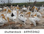 pelican colony | Shutterstock . vector #649453462