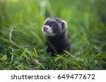 Black Ferret Baby In Grass