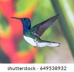 white necked jacobin | Shutterstock . vector #649538932