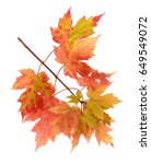 foliage of maple leaf isolated... | Shutterstock . vector #649549072
