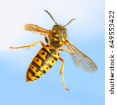 Small photo of The Wasp - Vespula Germanica flying on blue sky. A wasp's stinger contains venom that's transmitted to humans during a sting. Can cause significant pain, irritation and dangerous allergic reaction.