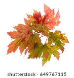 foliage of maple leaf isolated... | Shutterstock . vector #649767115