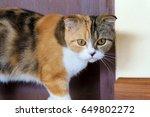 Calico Scottish Fold Cat Or...