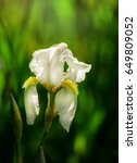 Beautiful Flowers Of White Iri...