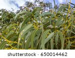 long green leaves and gum seeds ... | Shutterstock . vector #650014462
