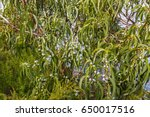 long green leaves and gum seeds ... | Shutterstock . vector #650017516