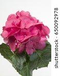 hydrangea macrophylla sibilla ... | Shutterstock . vector #650092978