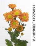 Small photo of Chrysanthemum Indicum Grp spray santini AAA Marinde