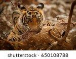 Tiger In The Nature Habitat....