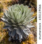 Small photo of Espeletia Frailejones of the Paramo de Oceta Mongui Boyaca in Colombia South America