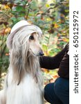 Small photo of Afghan hound portrait, trying on a hat, coquette, fashionista. He looks at the mistress with a languid look. Beauty salon, grooming, dog care, hairstyles for dogs, dog stylist