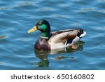 Colorful Mallard Drake In A...