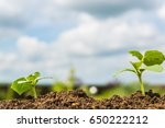 green  young  growing sprout... | Shutterstock . vector #650222212