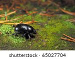 Forest dung beetle - stock photo
