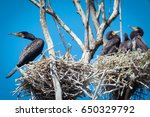 cormorant nests in a tree | Shutterstock . vector #650329792