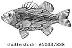 largemouth bass | Shutterstock .eps vector #650337838