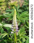 blossoming lupines with copy... | Shutterstock . vector #650362672