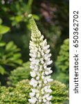 blossoming lupines with copy... | Shutterstock . vector #650362702