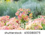 euphorbia flowers with natural... | Shutterstock . vector #650380075