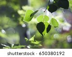 Green Aspen Leaves Dance In Th...