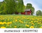 Dandelion Field  Taraxacum...