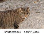 silver tabby cat walking on the ...   Shutterstock . vector #650442358