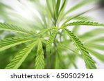 marijuana leaves close up zoom... | Shutterstock . vector #650502916