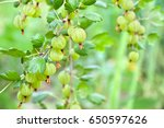ripe fruits of gooseberry ... | Shutterstock . vector #650597626