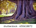 Giant Ancient Sturdy Roots Of A ...