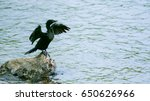 Little Cormorant Expand The...