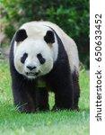 Small photo of Giant panda, Ailuropoda melanoleuca, walking