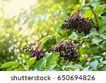 Clusters Fruit Black Elderberr...