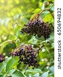clusters fruit black elderberry ... | Shutterstock . vector #650694832