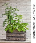 a small urban vegetable garden... | Shutterstock . vector #650742412