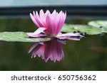 water lily is a genus of hardy... | Shutterstock . vector #650756362