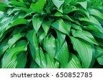 green bush hosta. hosta leaves. ... | Shutterstock . vector #650852785