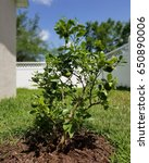 Small photo of young lime tree