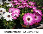 Purple And White African Daisy