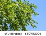 fresh mulberry berries on tree  ... | Shutterstock . vector #650953006