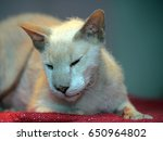 peterbald cat sitting on the rug | Shutterstock . vector #650964802