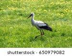 Polish Stork Isolated On The...