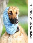 Small photo of Afghan hound in a hat