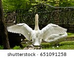 Adult White Swan Spreading Its...