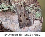 Small photo of Heart & Dart moth, Agrotis exclamationis. At rest on Silver Birch bark.