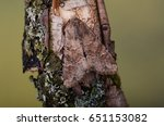 Small photo of Rustic Shoulder-knot moth, Apamea sordens. Camouflaged on an Oak twig.