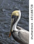 Small photo of The Brown Pelican is the smallest of the eight species of pelican, although it is a large bird in nearly every other regard.