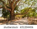 the massive trunk and branches... | Shutterstock . vector #651204406